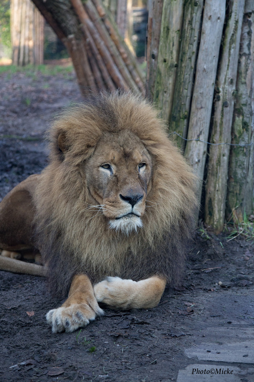 """Dukat  - Dukat is een leeuw van Dierenpark Amersfoort. <br /> <br /> Bedankt voor jullie reacties op  <a href=""""https://zoom.nl/foto/straatfotografie"""
