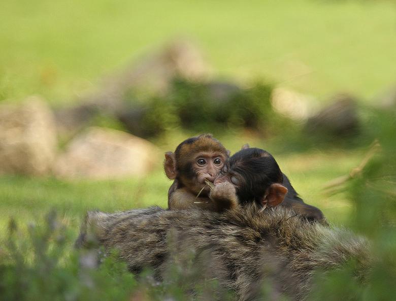 Share... - Hallo allemaal....daar is ze weer!!<br /> Ik probeer Zoom weer wat op te pakken na langere afwezigheid. <br /> Deze twee jonge apen probe