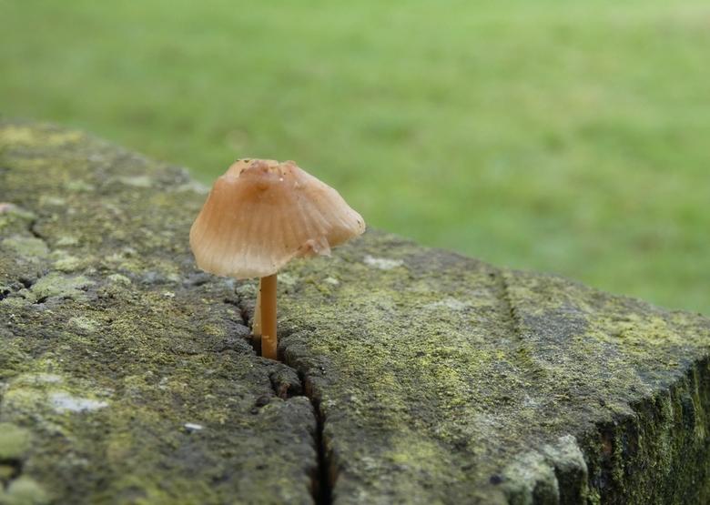 Alleen - Biels als paal voor afrastering met paddenstoeltje