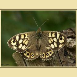 2e vlinder