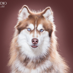 Husky door Pet Studio | Hondenfotograaf Sanne Mik