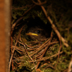 Winterkoning nest