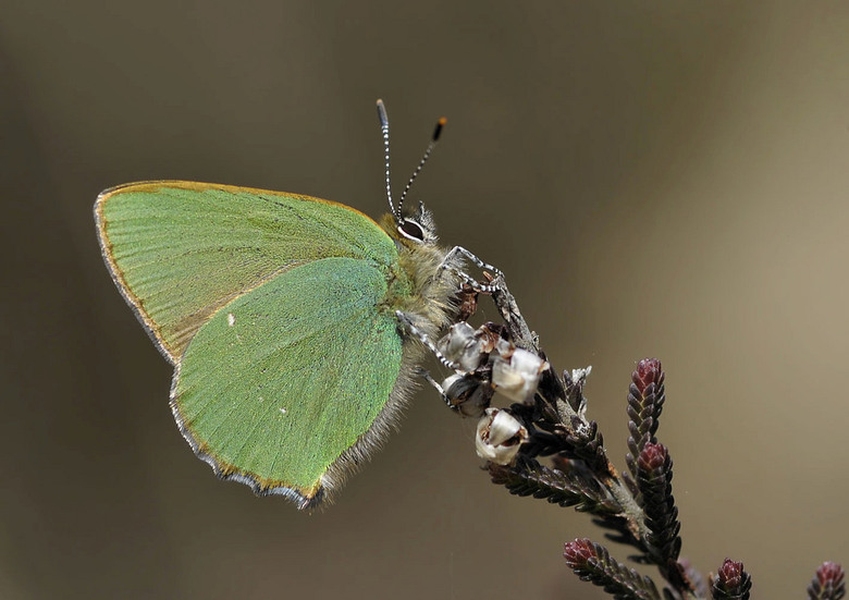 Groentje  - groentje  (Callophrys rubi)<br /> <br /> <br /> Zittend op een jong berkenblaadje valt het groentje, dat leeft op de grens van bos en h