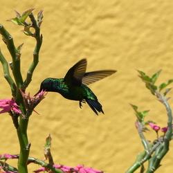 Kolibri in actie