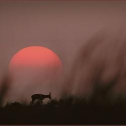 Reebok bij zonsondergang. Ameland. Scan van dia