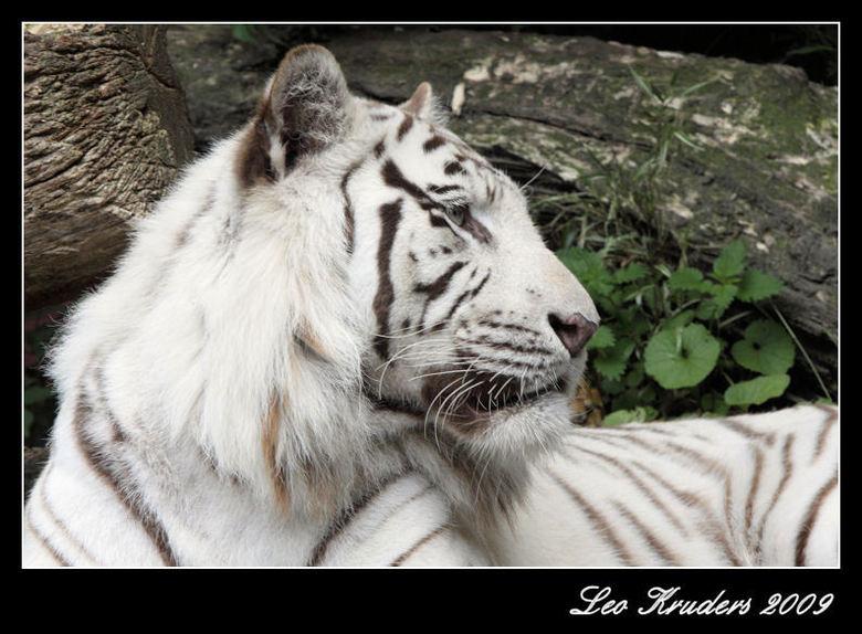 Witte tijger - Ondanks het weer en de drukte toch nog een redelijke opname kunnen maken van deze witte tijger in Amersfoort.<br /> De ruimte voor de