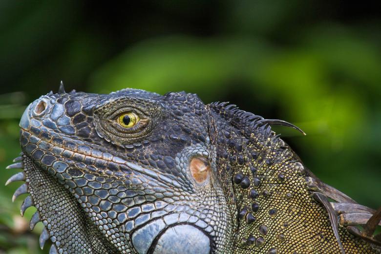 Agamid lizard - Eeen reuze hagedis in de wildernis van Costa Rica.