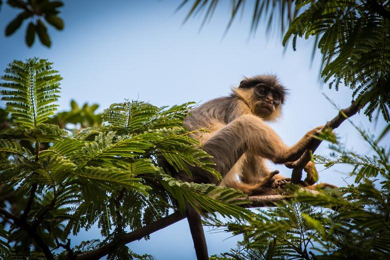 Monkey Business  - Apen spotten in Gambia