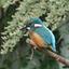 IJsvogel in Schalkwijk