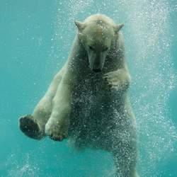 Zwemmende ijsbeer