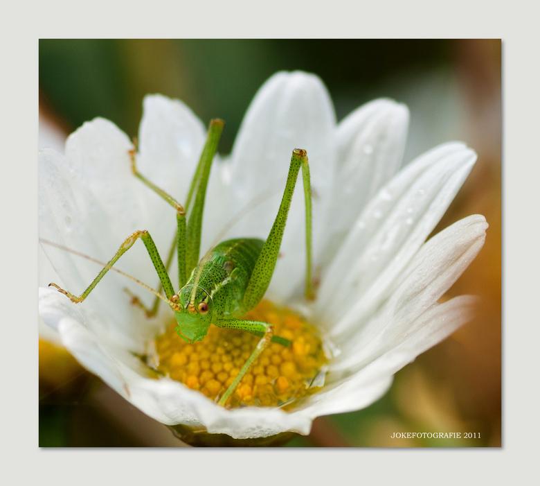 Sprinkhaan  - Deze sprinkhaan zat na de regen maandag lekker in zijn bloemenbadje.<br /> Af en toe zag ik een hapje van het een en ander naar binnen