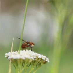 Phasie crassipenne (Ectophasia crassipennis)