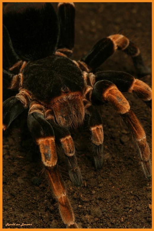 Orange-kneed Tarantula - Tijdens de vakantie in Costa Rica hebben wij onze collectie uitgebreid.<br /> Alle dieren zijn in het wild gespot en vastgel