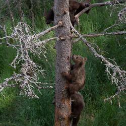 Drie jonge beren in de boom