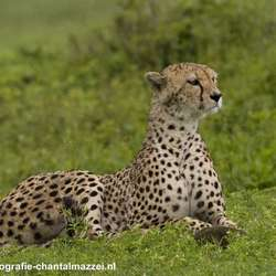 Een cheetah in de Ngorongorokrater in Tanzania