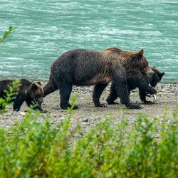 Moeder Grizzly met jong