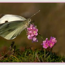 Bretonse vlinder