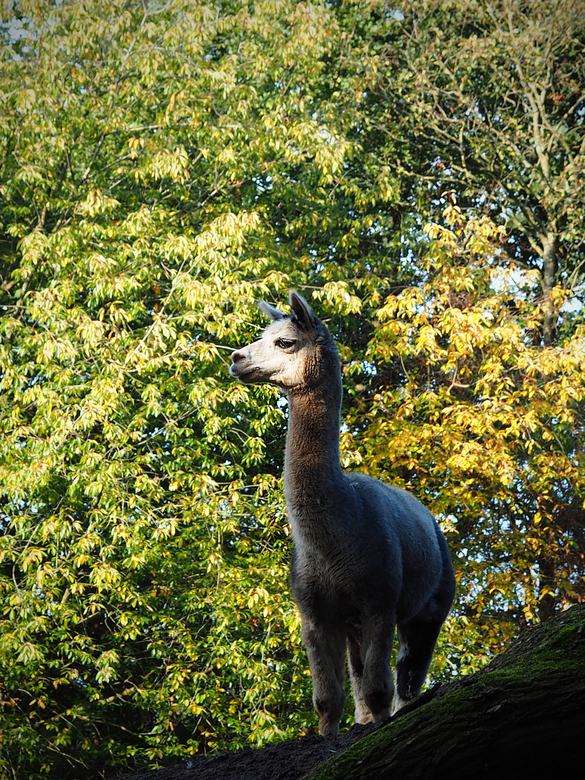 2019-10-15 nordhorn Lama  029 - Ben weer terug van mijn voorlopige laatste vakantie. Prachtige natuur in de omgeving van Winterswijk. Ik verwacht dat