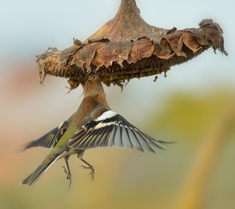 Hang-vink - Akkerranden in de polder geven vaak kansjes op leuke foto's