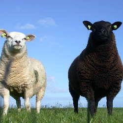 witte schapen zwarte schapen