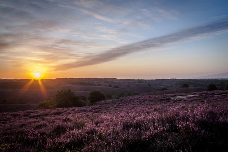 Heide in bloei - De heide in bloei, net na zonsopkomst