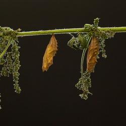 Vlinders kweken
