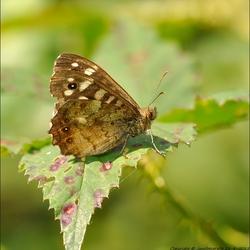 Het bont zandoogje (Pararge aegeria)