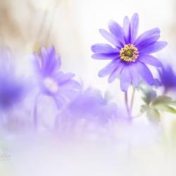 Magical Windflowers