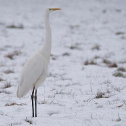 Witte reiger in de sneeuw