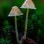 Russula spec