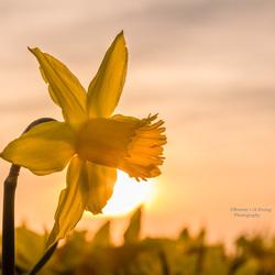 Een Narcis in de avond gloed