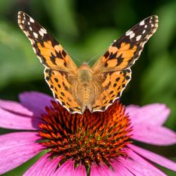 DIWL_20190804_vlinder tuin_030_s