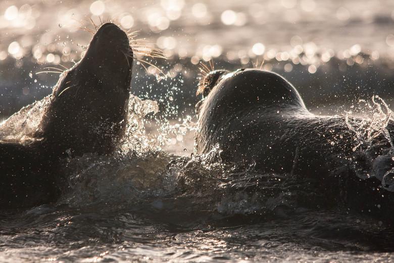 Enjoy The See - Spelende zeehonden in de branding van Duhne, Helgoland.. Een heerlijk sfeertje met al dat water..