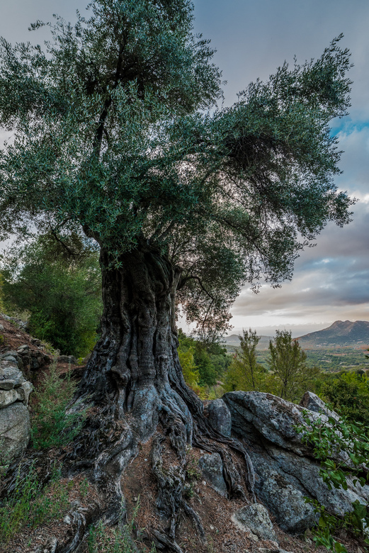 Thousand years old Olive tree - Bij een korte wandeling over het terrein waar we een huisje hadden op Corsica, trof ik deze olijfboom aan. De eigenaar