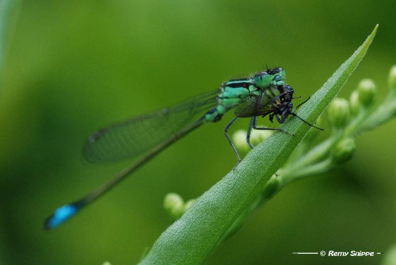 Lekker hapje - Deze juffer had zichzelf een vlieg gevangen en zat die lekker op te eten op een takje.