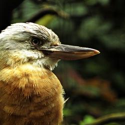 Avifauna 6 Kookaburra