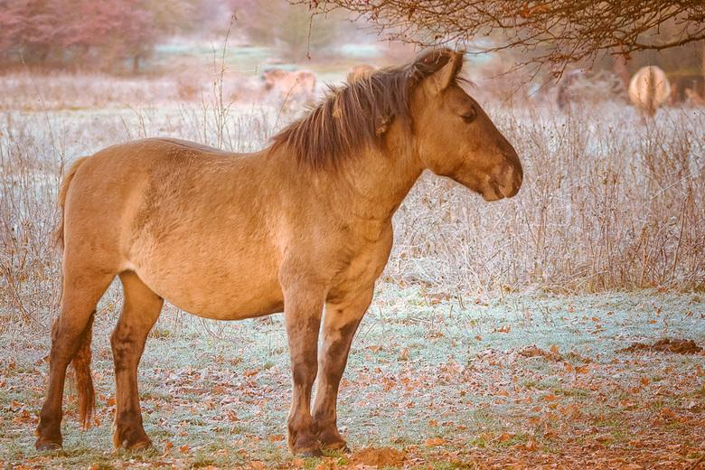 Konik paard.2 in de Blauwe Kamer -