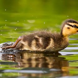 Turbo Duckie