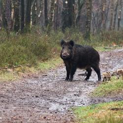 Wild Zwijn met Frislingen