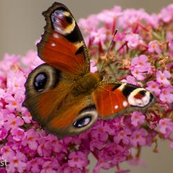 Vlinderstruik in trek