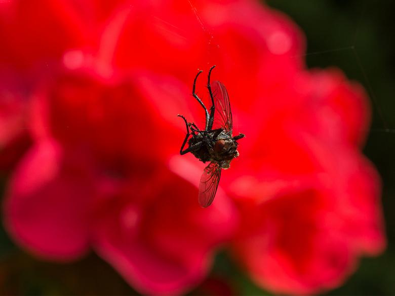 Dode vlieg 2 - Dode vlieg  hangt aan een onzichtbaar spinnenwebdraadje