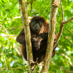 Gaping howler monkey