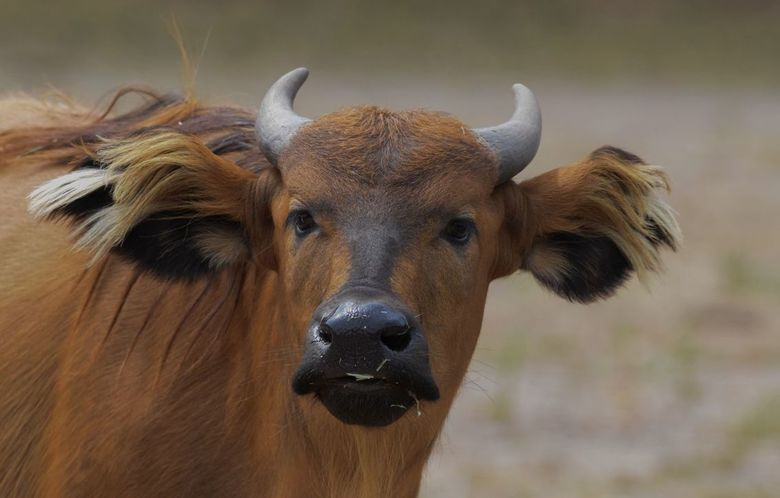 Rode Bosbuffel - Rode Bosbuffel