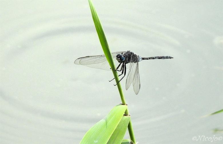 Orthetrum trinacria. - Dankzij zoomer vlindervleugel kreeg ik de naam van deze libel. <br /> De lange oeverlibel (Orthetrum trinacria) is een libelle