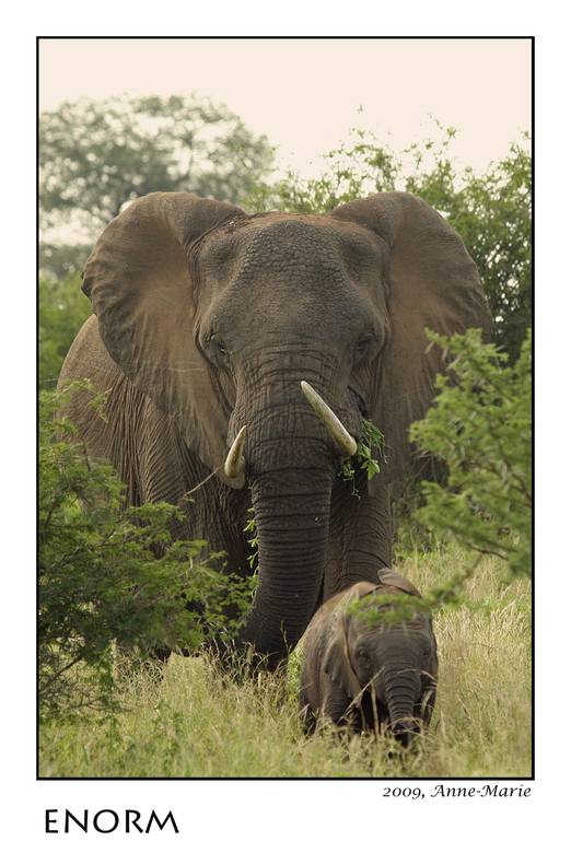 Enorm - Vlak langs de weg troffen we deze enorme olifant aan. Deze was juist van plan om met 25 andere olifanten de weg over te steken. Als ze zo dich