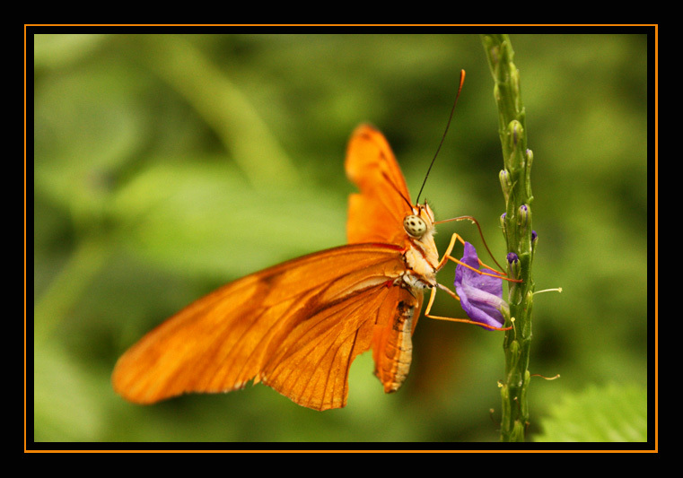 Butterfly - Een oudje, maar wel een mooie knallende vlinder, geschoten in de vlindertuin in Emmen.