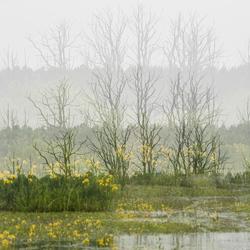 Gele irissen in het landschap
