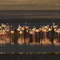 Flamingo's in warm avondlicht