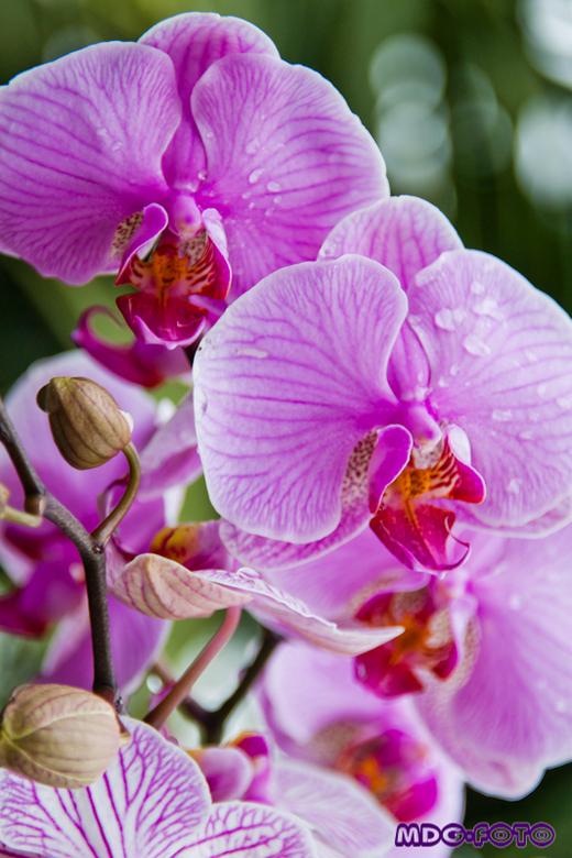 Orchidee - Dit was in de Orchideeénhoeve met moederdag.. Mijn schoonmoeder wilde daar heel graag heen, we hebben toen foto's gemaakt. Ik ben blij
