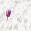 Tulpen op Goeree
